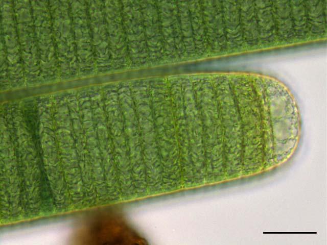 藍藻 ユレモ(Oscillataria)の...